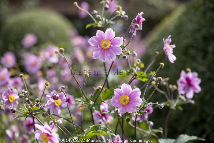 Anemone × hybrida