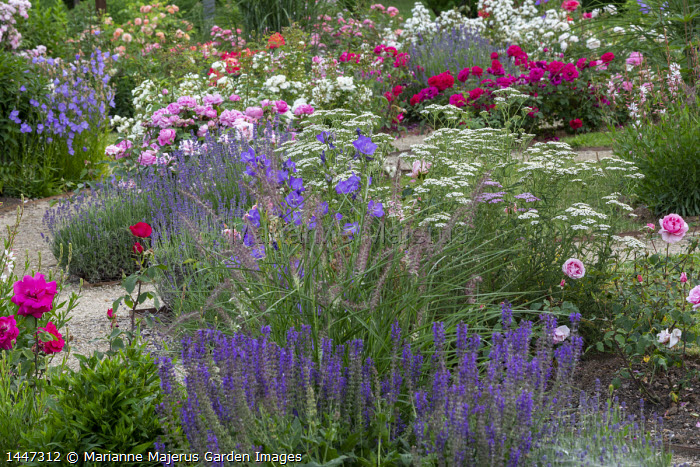 Lavender, salvia, geraniums, pennisetum, achillea, Rosa 'General Th. Peschkoff' (Ketten Frères 1909), Rosa 'Jeanny Soupert' (Soupert & Notting 1912)