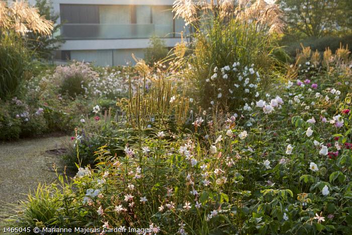 Roses, Gaura lindheimeri, miscanthus, Veronicastrum virginicum 'Album' seedheads, Anemone × hybrida 'Honorine Jobert'