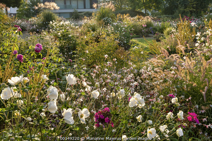 Anemone × hybrida 'Honorine Jobert', Gaura lindheimeri, pennisetum, phlox, roses, Veronicastrum virginicum 'Album' seedheads