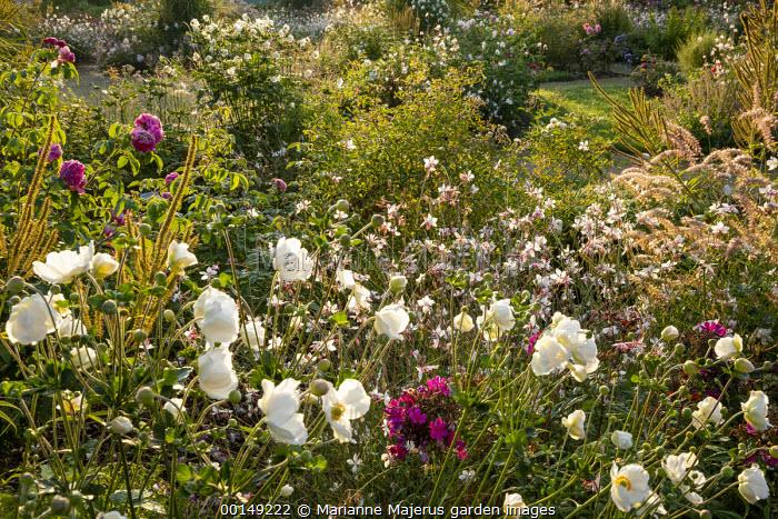 Anemone × hybrida 'Honorine Jobert', Gaura lindheimeri, pennisetum, phlox, roses