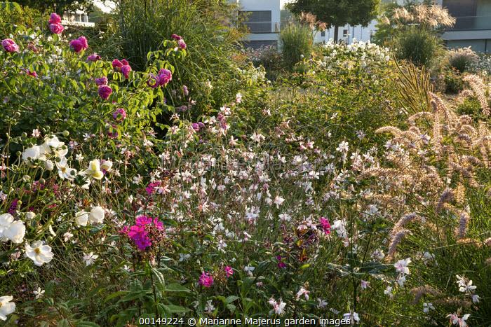 Rose garden, Gaura lindheimeri, pennisetum