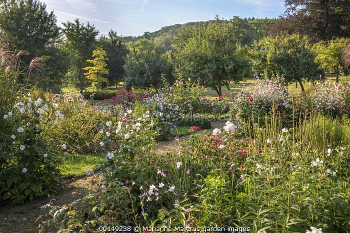 Anemone × hybrida 'Honorine Jobert', roses, Veronicastrum virginicum 'Album' seedheads