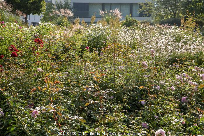 View across rose border, Rosa 'Rousefrenn', miscanthus