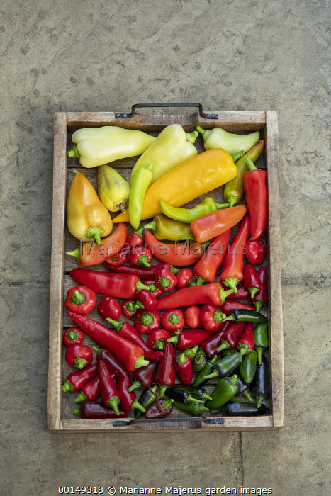 Tray of harvested chilli peppers