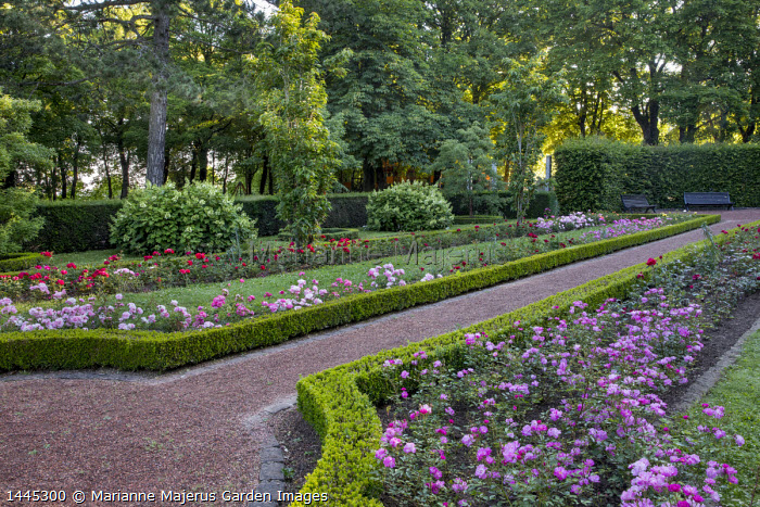 Roses in box-edged borders, gravel path, hydrangea