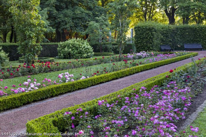 Roses in box-edged borders, gravel path