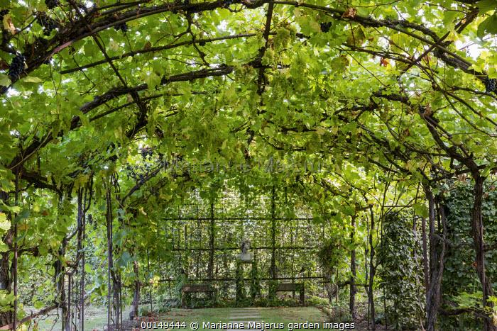 Grape vine trained over metal pergola