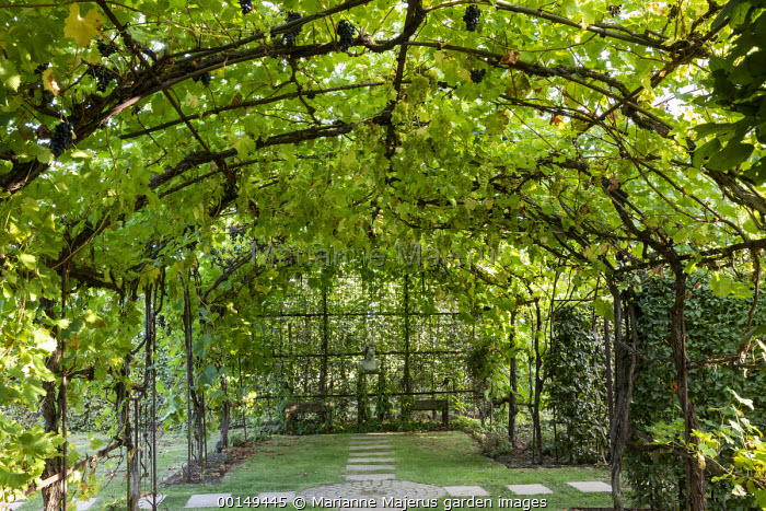 Grape vine trained over metal pergola