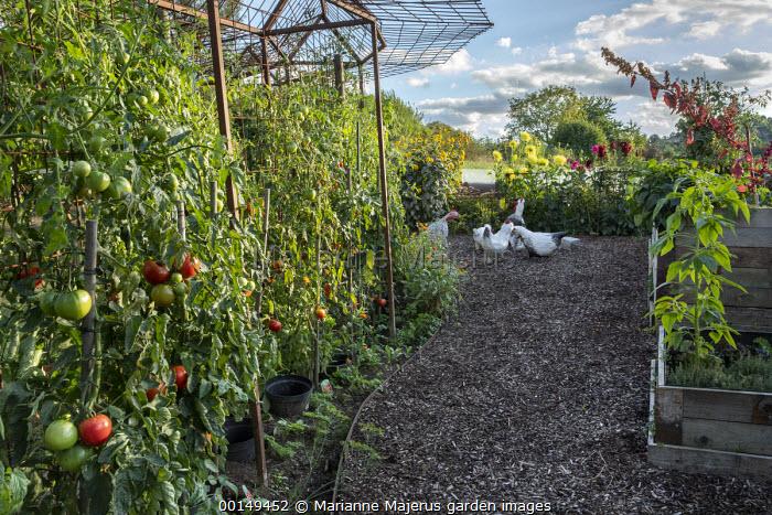Cordon trained tomatoes, painted papier-mâché hen sculptures