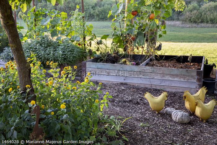 Wooden compost bins, squash trained up metal trellis, metal hen ornaments, sage