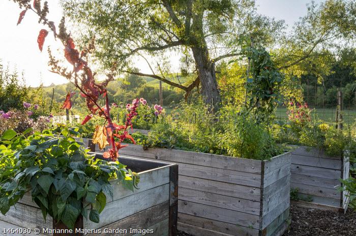 Tall wooden raised beds in kitchen garden