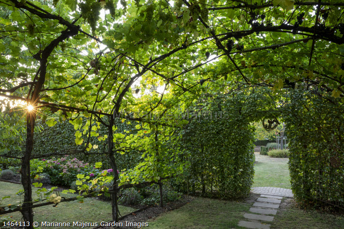 Grape vine trained over metal pergola, clipped archway in hornbeam hedge