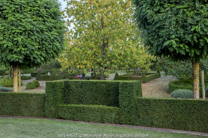 Clipped bench in yew hedge, Robinia pseudoacacia 'Umbraculifera'