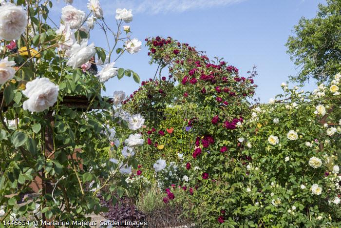 Rosa 'Burgundy Rambler' climbing over rose arch, Rosa 'The Albrighton Rambler', Rosa 'The Pilgrim'
