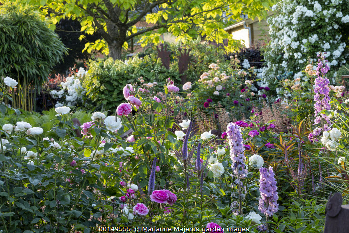 Rosa 'Gertrude Jekyll', Rosa 'Tranquility', delphiniums and veronicastrum