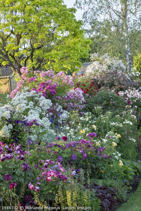 Rose garden, catalpa, heuchera