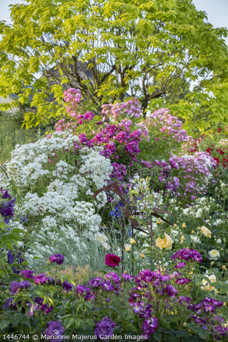 Rose garden, catalpa