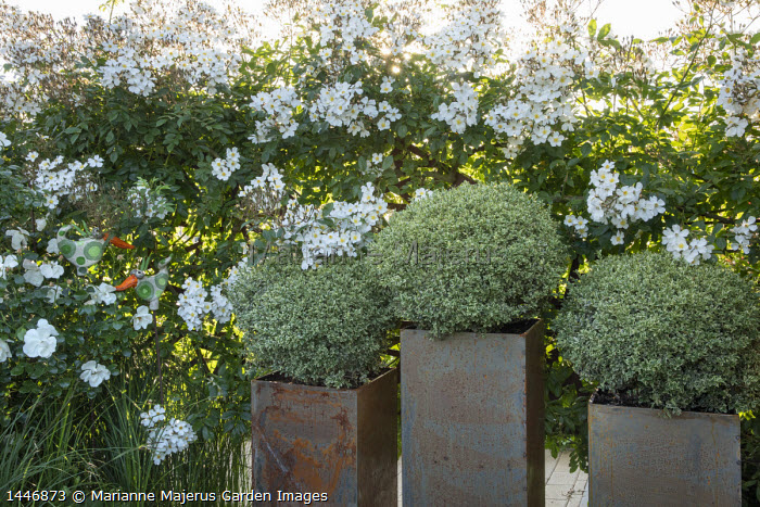 Buxus sempervirens 'Elegantissima' in square metal pots, Rosa 'Rambling Rector'