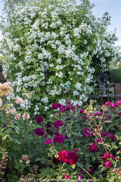 Rose garden, Rosa 'White Flight' arbour, Rosa 'Charles Austin', Rosa 'Munstead Wood'