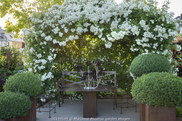 Metal bench under Rosa 'White Flight' arbour, clipped Buxus sempervirens mounds in tiered large containers, aeonium in planted table