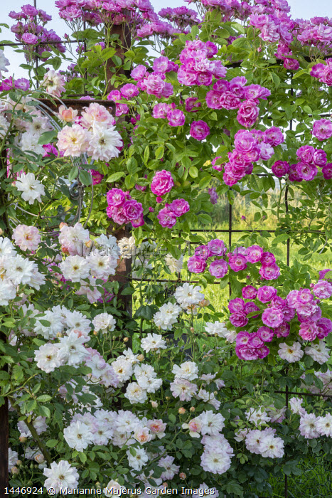 Rosa 'Hugo Maweroff' and Rosa 'Phyllis Bide' climbing on screen