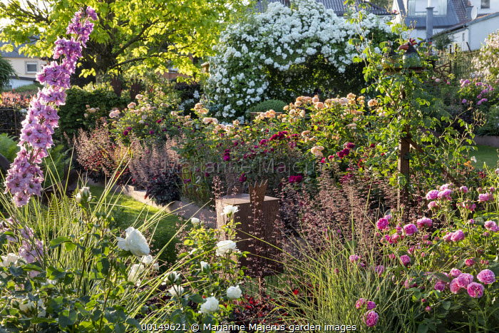 Roses, delphiniums and veronicastrum, heuchera, catalpa, Rosa 'Louise Odier', Rosa 'Tranquillity', Rosa 'Cardinal Hume', Rosa 'Munstead Wood', Rosa 'Charles Austin', Rosa 'White Flight'