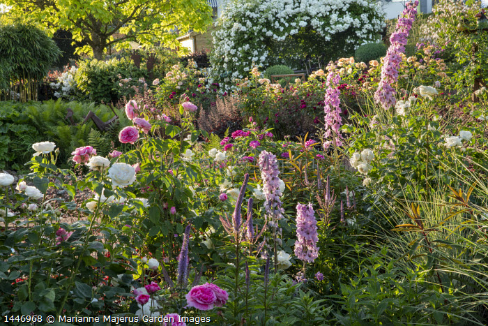 Rose garden, delphiniums and veronicastrum, catalpa, Rosa 'Gertrude Jeckyll', Rosa 'Tranquillity', Rosa 'Charles Austin', Rosa 'Munstead Wood', Rosa 'White Flight' arbour