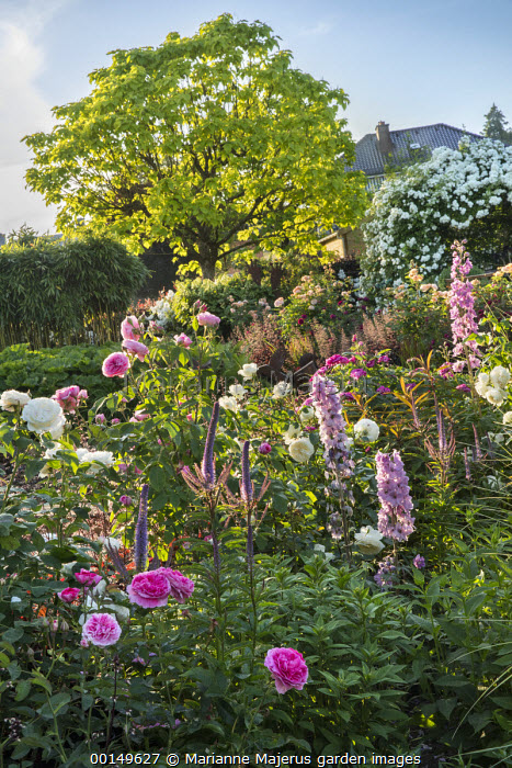 Roses, delphiniums and veronicastrum, catalpa