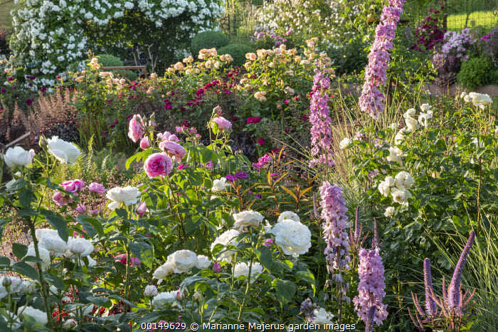 Rosa 'Gertrude Jeckyll', Rosa 'Tranquillity', delphiniums and veronicastrum, Rosa 'Charles Austin', Rosa 'Munstead Wood', Rosa 'White Flight' arbour