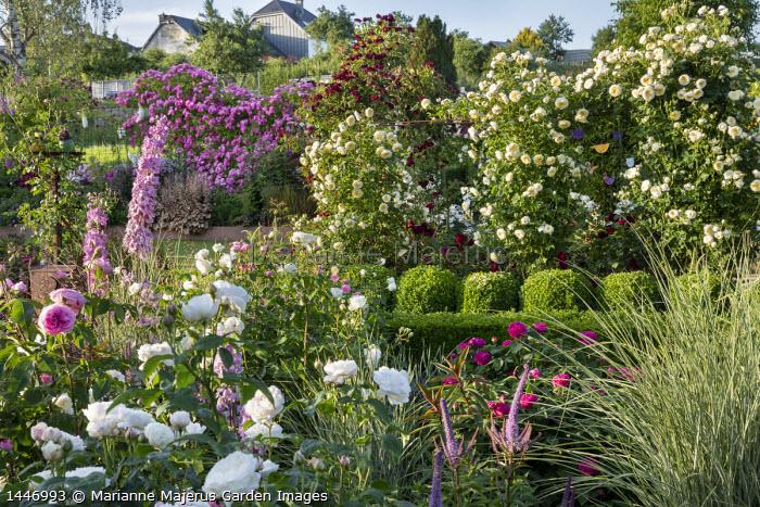Rose garden, Rosa 'The Pilgrim', Rosa 'Burgundy Rambler' and Rosa 'Hugo Maweroff' climbing over screens, Rosa 'Gertrude Jekyll', Rosa 'Tranquility'