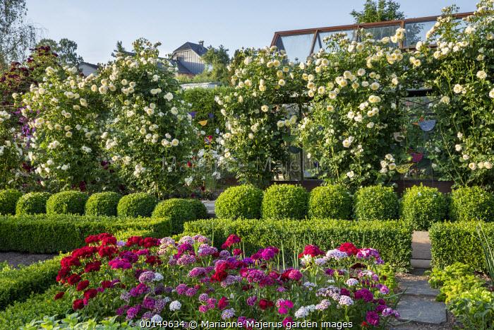 Dianthus barbatus, box hedge and topiary, Rosa 'The Pilgrim' climbing over screen