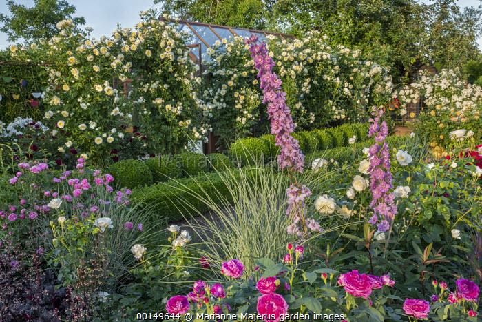 Rose, delphiniums, Rosa 'The Pilgrim' climbing over screen, Rosa 'Rose de Recht'