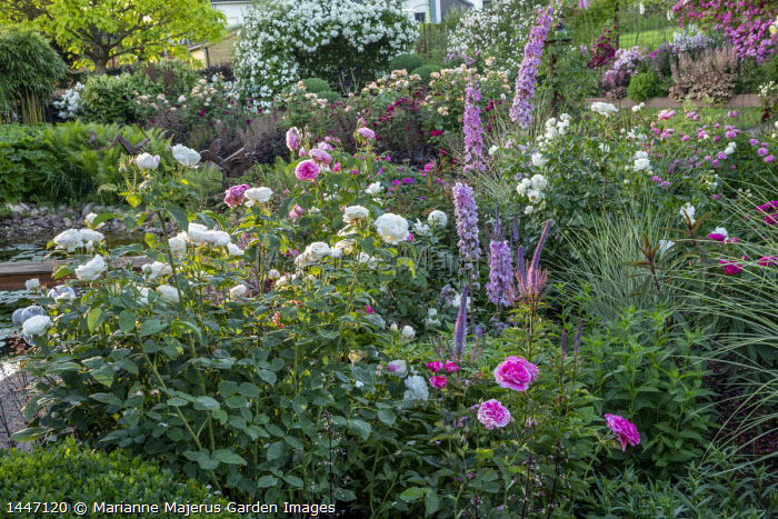 Rosa 'Gertrude Jekyll', Rosa 'Tranquility', delphiniums and veronicastrum, Rosa 'Charles Austin', Rosa 'Munstead Wood', Rosa 'White Flight' on arbour