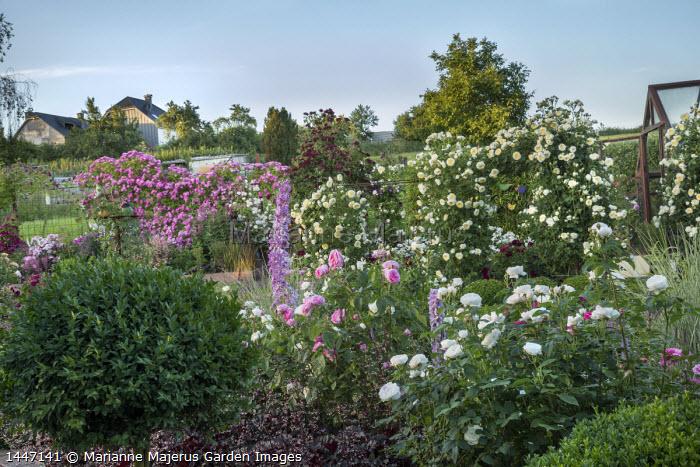Rose garden, delphiniums, Rosa 'The Pilgrim', Rosa 'Burgundy Rambler' and Rosa 'Hugo Maweroff' climbing over screens, Rosa 'Gertrude Jeckyll', Rosa 'Tranquillity'