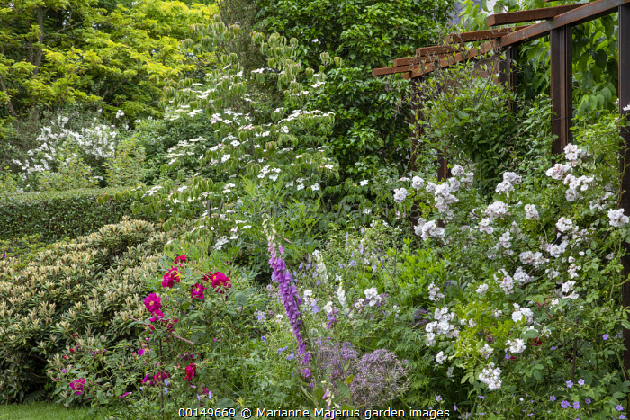 Rosa 'Perennial Blush' and Rosa 'James Mason' in border, alliums, foxglove, Cornus kousa, metal pergola