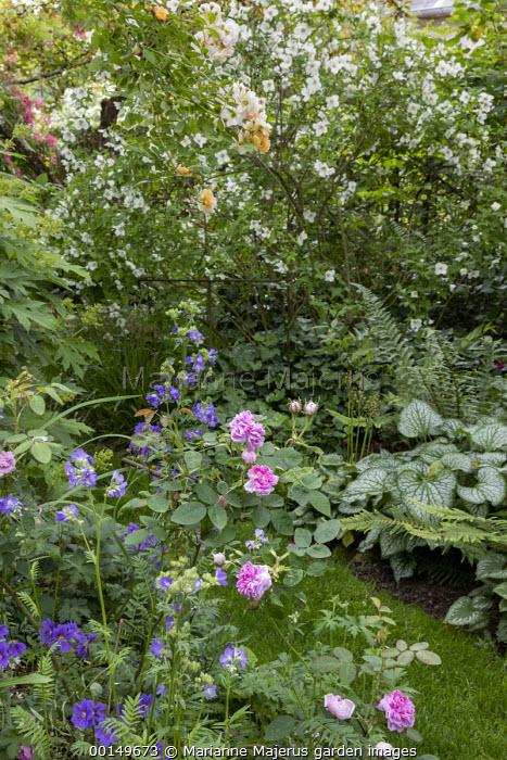 Grass path, Rosa 'Ghislaine de Feligonde', Rosa x centifolia 'Muscosa', Philadelphus 'Belle Etoile', Geranium × magnificum 'Rosemoor', brunnera