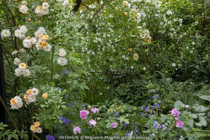 Rosa 'Ghislaine de Feligonde', Rosa x centifolia 'Muscosa', brunnera, Philadelphus 'Belle Etoile', Geranium × magnificum 'Rosemoor'