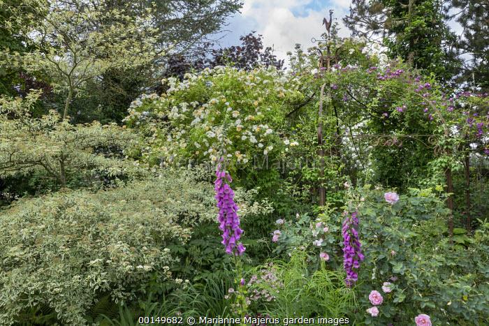 Rose arbour, Digitalis purpurea, Cornus controversa 'Variegata'