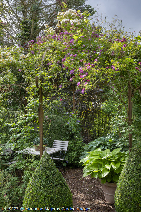 Table and chairs under rose arbour, Rosa 'Veilchenblau', hosta in container, clipped Buxus sempervirens