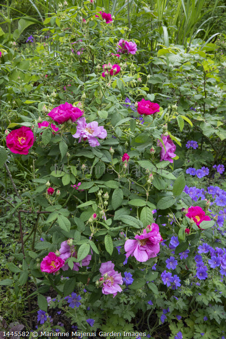 Rosa gallica var. officinalis and geranium