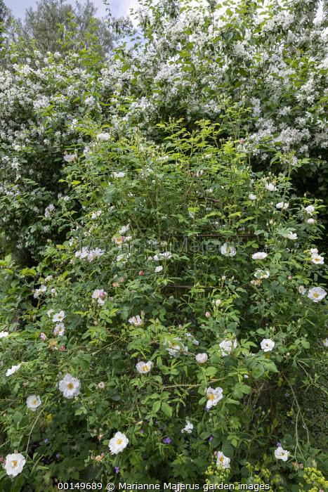 Rosa damascena 'Hebe's Lip'