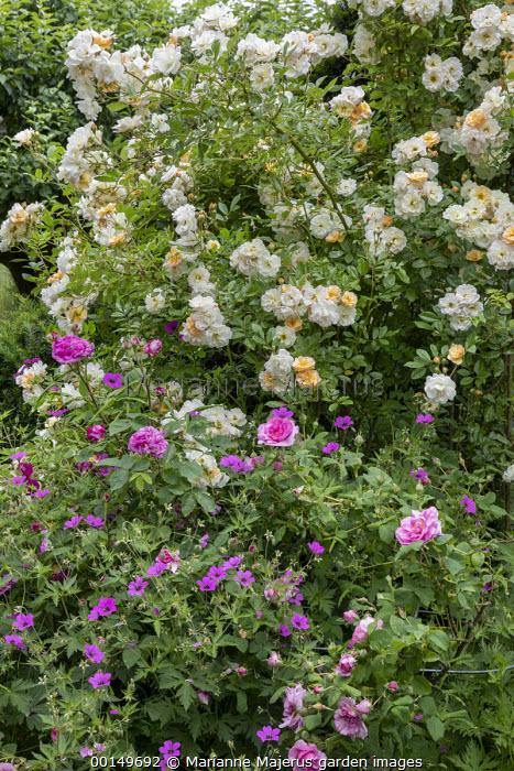 Rosa 'Ghislaine de Feligonde', Rosa x centifolia 'Muscosa', geranium