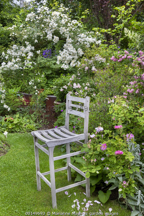 Tall wooden chair on lawn in rose garden, arch with Rosa 'Rambling Rector', Rosa 'Parviflora'