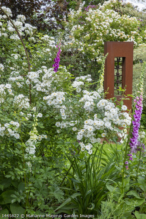 Rosa 'Guirlande d'Amour' and foxgloves by metal sculpture, Rosa 'Goldfinch'
