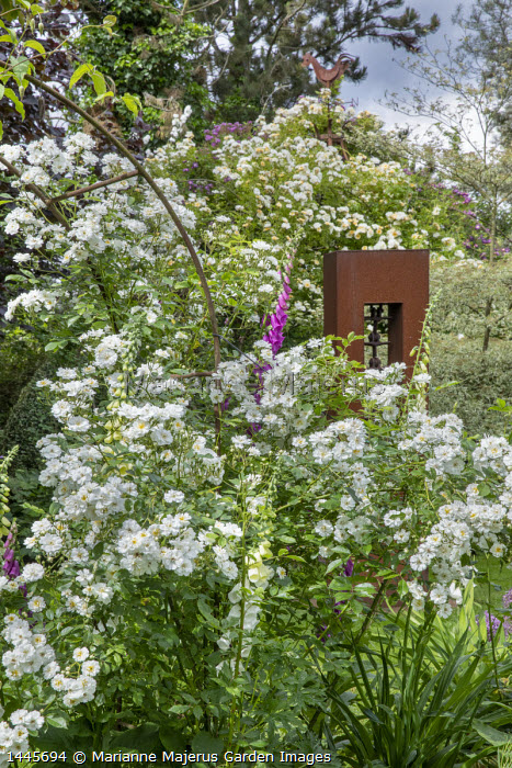 Rosa 'Guirlande d'Amour' and foxgloves around metal arch, Rosa 'Goldfinch'