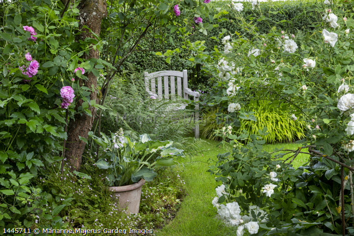 Hosta 'Deane's Dream' in pot in border, view to wooden chair on lawn, Rosa 'Mme. Legras de St Germain', Rosa gallica 'Gloire de France'