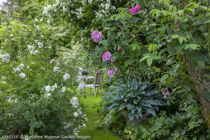 Hosta 'Deane's Dream' in pot in border, view to wooden chair and table on lawn, Rosa 'Mme. Legras de St Germain', Rosa gallica 'Gloire de France'