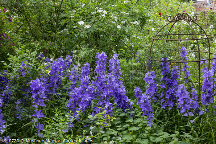 Campanula, Rosa 'Lykkefund', metal plant support