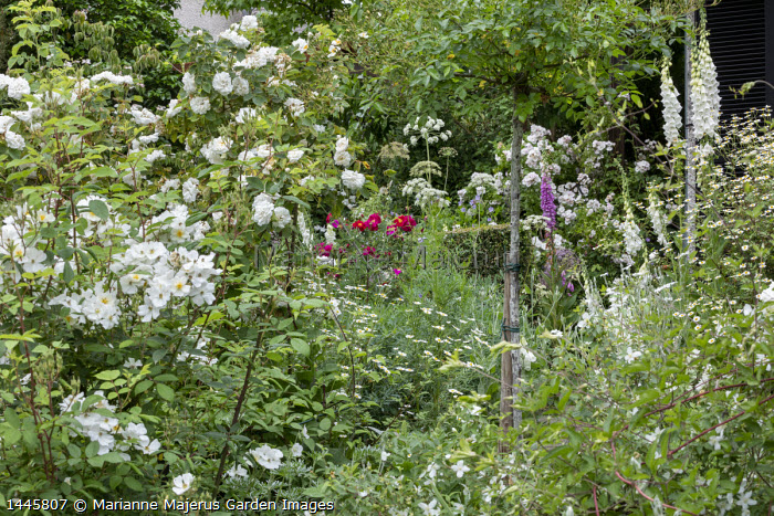 Rose garden, foxgloves, geraniums